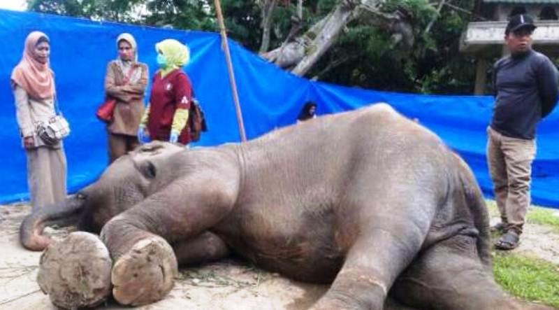 Bita, Gajah Sumatera Koleksi TMSBK, Kota Bukittinggi, Sumbar Tewas.