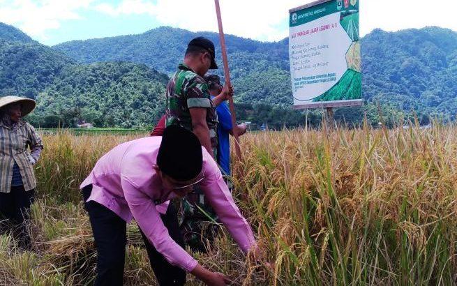 Camat Kamang Magek, Kabupaten Agam, Harmezi melakukan panen padi perdana hasil uji coba teknologi 'Jajar Legowo' di kawasan kelompok tani Binuang Kamang Mudiak, Kamis (7/9/2017).