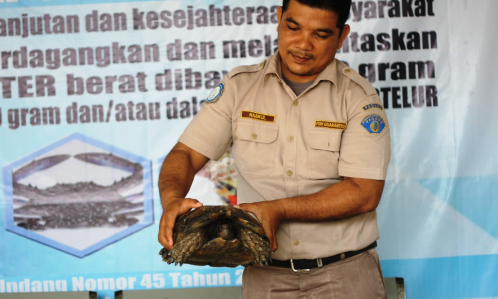 Petugas stasiun BKIPM Kelas I Padang saat memperlihatkan kura-kura kaki gajah yang diselamatkan dari penyelundupan di Bandara Internasional Minangkabau, Padang Pariaman, Sumatera Barat/Lidairak.