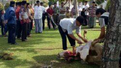 Pemotongan hewan kurban dilingkungan Gubernuran Sumatera Barat.