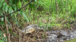 Buaya bertelur di muara sungai Tiku V, Jorong Ujung Labuang, Kabupaten Agam, Sumatera Barat. BKSDA Resor Agam