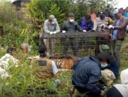 BKSDA: Sudah Dua Harimau Yang Kita Amankan