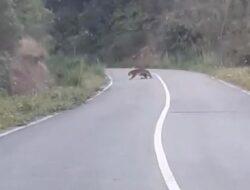 Kemunculan Harimau Sumatera Resahkan Warga Di Kabupaten Solok