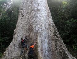 BKSDA Temukan Pohon Terbesar Dunia di Agam, Sumbar