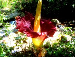 Langka! Bunga bangkai Suweg Mekar di Kebun Durian