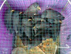 BKSDA Resor Agam Lepasliarkan 32 Ekor Burung Jalak Kerbau