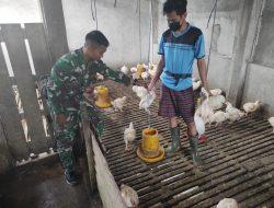 Anggota TMMD bantu warga memberi makan ternak